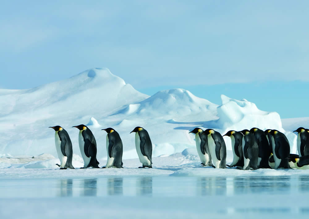 Emperor Penguins and G...